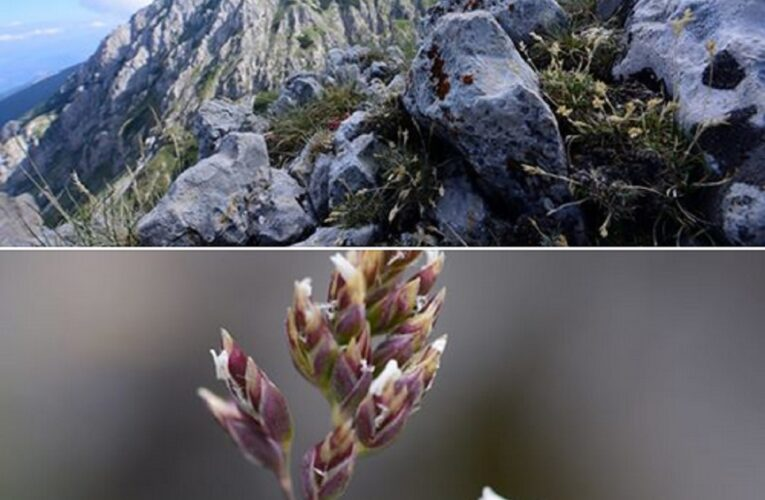 Scoperta una nuova specie nella flora della Maiella