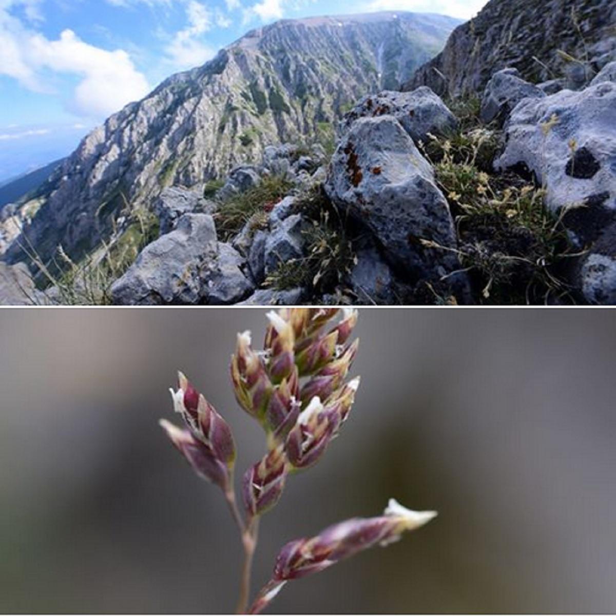 Scoperta una nuova specie nella flora della Maiella foto