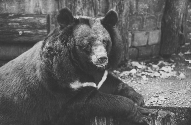Villa Celiera: avvistato un esemplare di orso marsicano