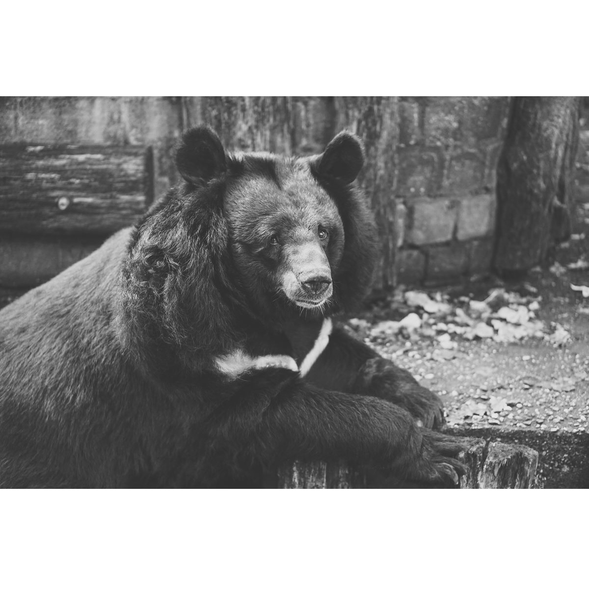 Villa Celiera avvistato un esemplare di orso marsicano foto