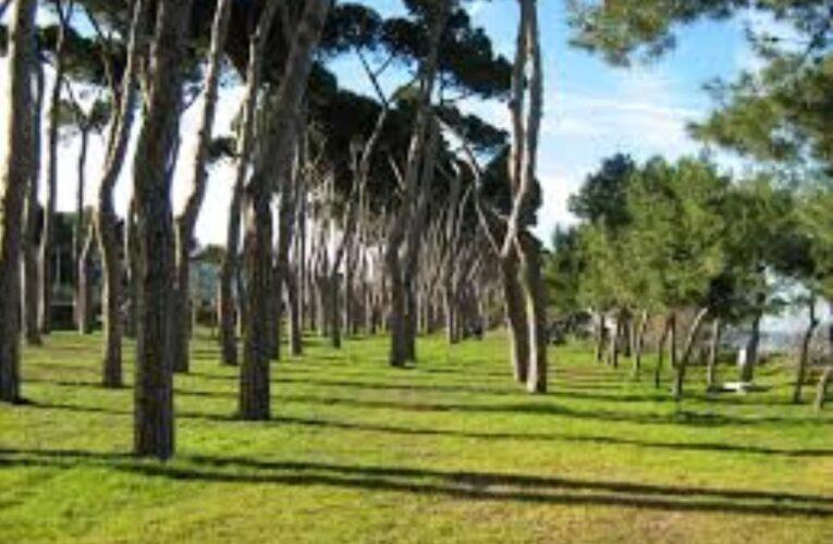 Il Tomicus ha attaccato alcuni pini a Pineto