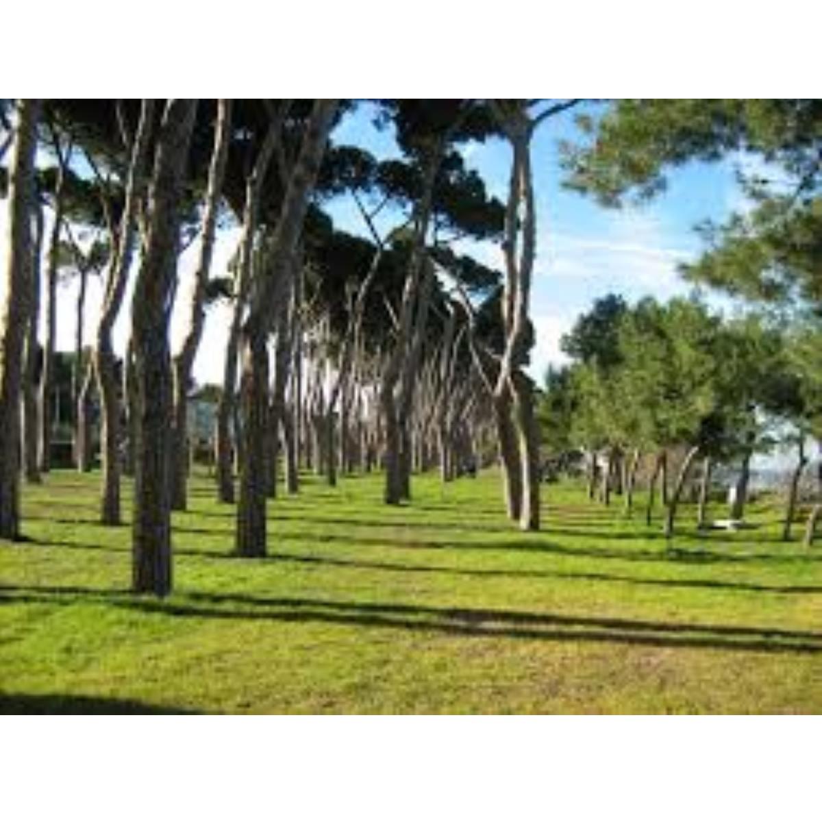 Il Tomicus ha attaccato alcuni pini a Pineto foto