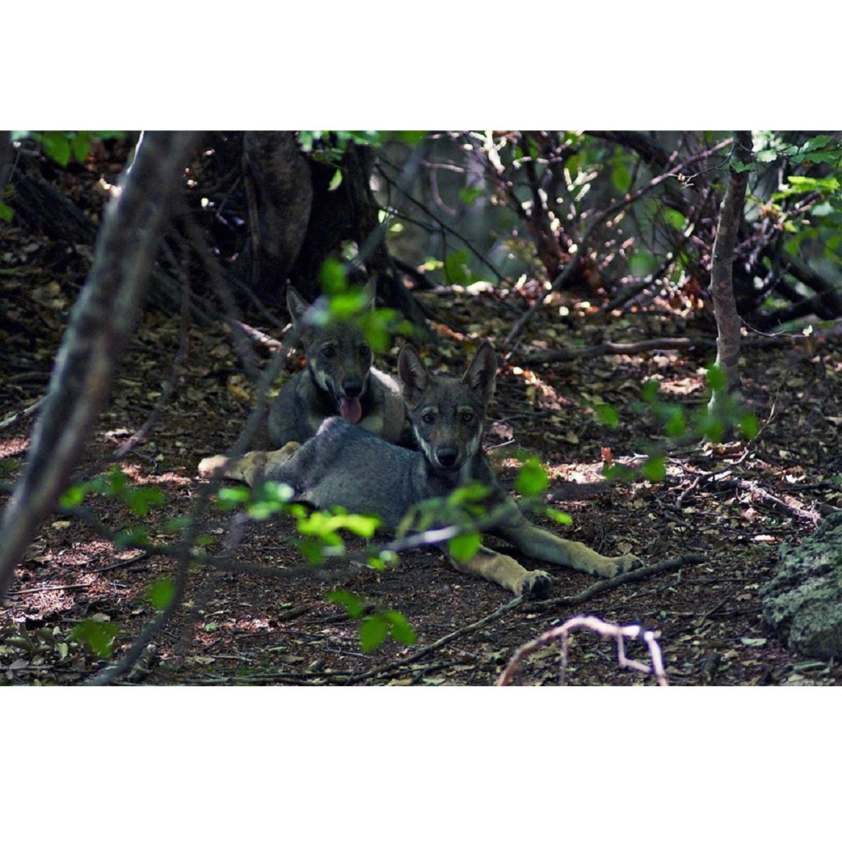 Lupo lupino lupetto lupone! il 20 giugno 2021 foto